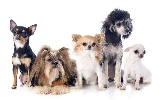 כלבי לוויה וזעירים