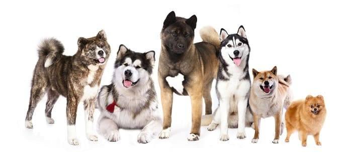 קבוצת כלבי שפיץ וטיפוסים פרימיטיביים